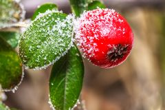 Frozen holly berrie. Winter holly berrie. White frosted and snowy twig red holly berries royalty free stock photo
