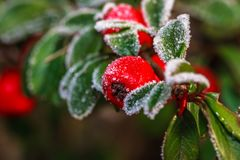 Frozen holly berrie. Winter holly berrie. White frosted and snowy twig red holly berries royalty free stock photography
