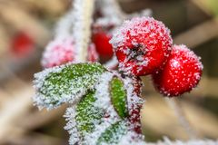 Frozen holly berrie. Winter holly berrie. White frosted and snowy twig red holly berries royalty free stock photos