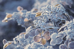 Frozen Hydrangea flowers2. Frozen Hydrangea flowers taken on a late autumn morning in Bremen, Germany Royalty Free Stock Image