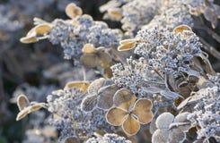 Frozen Hydrangea flowers. Taken on a late autumn morning in Bremen, Germany Royalty Free Stock Photography