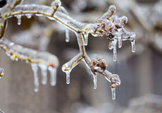 Frozen in the ice branches Royalty Free Stock Images