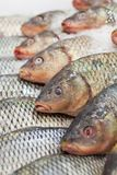 Frozen fish. Freshfish market. Gilt-head bream. Fish sale in market. Sea bream fish on ice. Fresh fish on ice for sale Stock Images