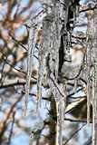 Frozen icicles on the tree branches Royalty Free Stock Photo