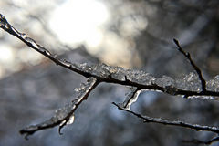 Frozen icicles on the tree branches Royalty Free Stock Image