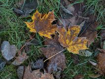 Frozen autumn leaves in the grass. Frozen and icy autumn leaves in the grass soon snow comes royalty free stock image