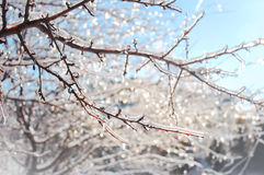 Frozen icy branches that shine and twinkle. Winter magic created by several frozen icy branches on a tree that shine and twinkle in the warm sun light on the royalty free stock images