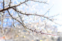 Frozen icy branches that shine and twinkle. Winter magic created by the frozen icy branches that shine and twinkle in the warm sun light on the background of the royalty free stock photo