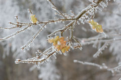 Free Frozen In The Ice Tree Branches. Frozen Tree Branch In Winter. Stock Photos - 80637573