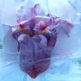 Frozen iris flower Royalty Free Stock Images
