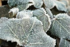 Frozen ivy Stock Photos