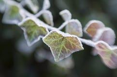 Frozen ivy Royalty Free Stock Photos
