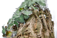 Frozen ivy on tree covered with frost Royalty Free Stock Image