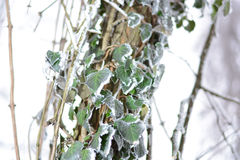 Frozen ivy on tree covered with frost Royalty Free Stock Photography