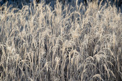 Frozen Japanese pampas grass Royalty Free Stock Images