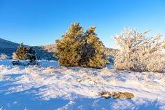 Frozen juniper trees Royalty Free Stock Images