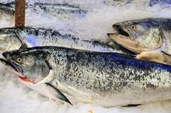 Frozen King salmon. For sale at Pike Place Market, Seattle Royalty Free Stock Image
