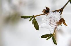 Frozen Kyushu Hydrangea Stock Photo