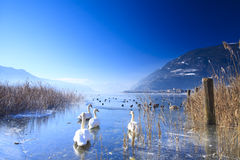 Frozen lake in the alps with swans Royalty Free Stock Image