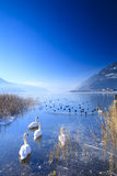 Frozen lake in the alps with swans Stock Images