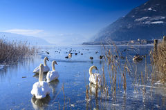 Frozen lake in the alps with swans Stock Photos