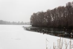 Frozen lake covered in snow birds ducks swans swimming royalty free stock image