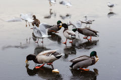 A frozen lake with ducks  and birds on it. A frozen lake in winter with birds on it Stock Images