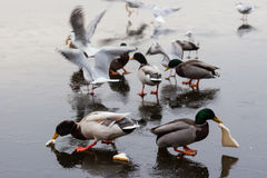 A frozen lake with ducks  and birds on it. A frozen lake in winter with birds on it Stock Photo