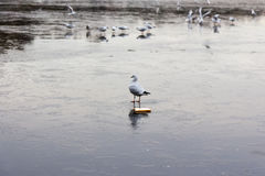 A frozen lake with ducks  and birds on it. A frozen lake in winter with birds on it Stock Photos