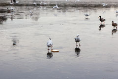 A frozen lake with ducks  and birds on it. A frozen lake in winter with birds on it Stock Image