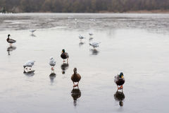 A frozen lake with ducks  and birds on it. A frozen lake in winter with birds on it Royalty Free Stock Photography