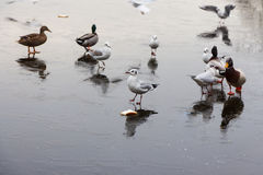 A frozen lake with ducks  and birds on it. A frozen lake in winter with birds on it Royalty Free Stock Photos