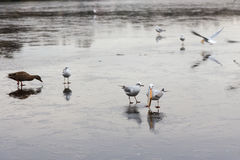 A frozen lake with ducks  and birds on it. A frozen lake in winter with birds on it Royalty Free Stock Photo