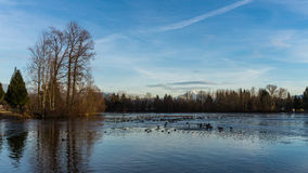 Frozen Lake with Ducks in Small Open Area Royalty Free Stock Photo