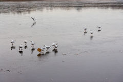 A frozen lake with ducks on it. A frozen lake in winter with ducks on it Stock Photo
