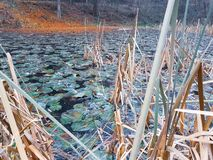 Frozen lake in the forest. Freezing autumn day on a lake with Waterlilies under frozen in ice royalty free stock photo