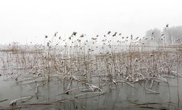 Frozen lake with reeds Stock Photo