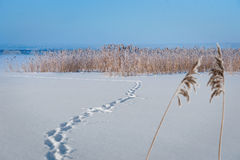 Frozen lake with reeds Royalty Free Stock Images