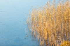 Frozen lake with reeds on shore Royalty Free Stock Image