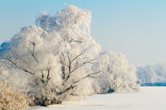 Frozen lake with willow trees Royalty Free Stock Images