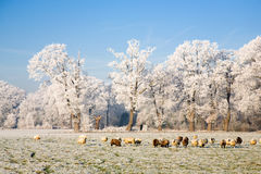 Frozen landscape. Cattle of sheep in a frozen landscape Royalty Free Stock Images