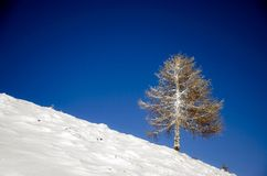 Frozen larch tree Royalty Free Stock Images