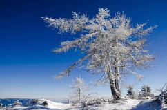 Frozen larch tree Royalty Free Stock Image