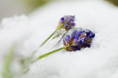 Frozen lavender Royalty Free Stock Photos