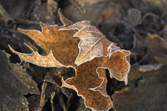 Frozen leaf. Frozen curled maple leaf on the ground royalty free stock images