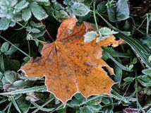 Frozen leaf. One big yellow frozen leaf on the green foliage Royalty Free Stock Photos