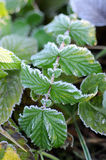 Frozen leaf Royalty Free Stock Photos