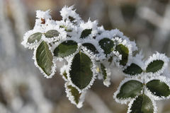 Free Frozen Leaf Royalty Free Stock Image - 36300216