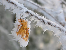 Frozen leaf. On tree branch closeup Royalty Free Stock Photography