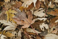 Frozen leaf. Autumn brown leaves lay frozen in the november garden on the brown background Royalty Free Stock Image